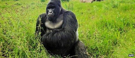A mountain gorilla in Virunga National Park - April 2011