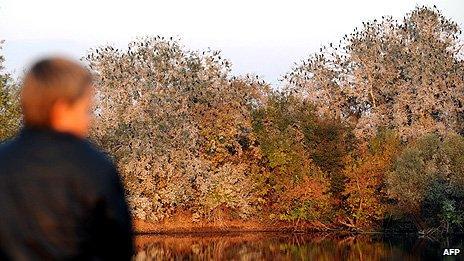 A boy looks at trees full of cormorants in the Kopacki Rit nature park