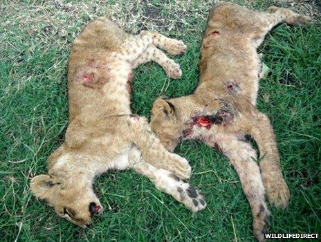 Two dead lion cubs
