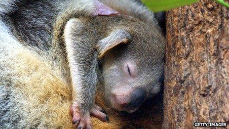 A joey, or baby, koala in her mother's pouch