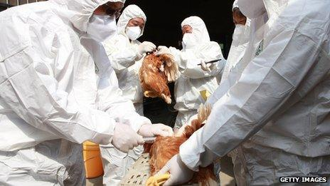 Health workers inspect chickens