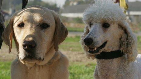 The labrador and the poodle are being crossed by some breeder