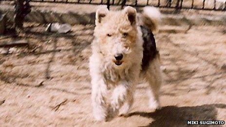 Wire-haired fox terrier Rocky running in Miki Sugimoto's yard