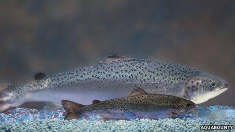 Transgenic salmon next to a non-transgenic salmon of the same age