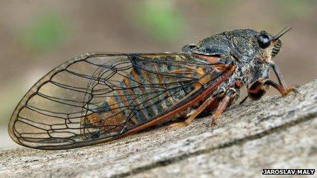 New Forest cicada insect