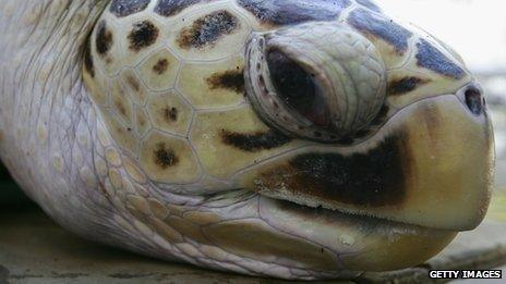 'Tommy', a leatherback turtle at Sydney Aquarium.