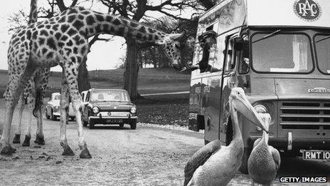 A giraffe at Longleat