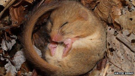 A dormouse asleep