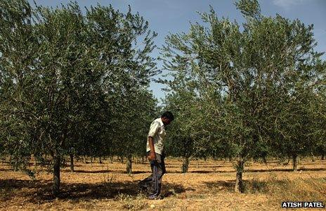 Olive farming/Rajasthan