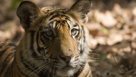 Tiger in the wild, India, November 2009
