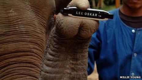 Elephant holds harmonica