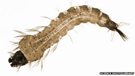 Mosquito larvae file photo