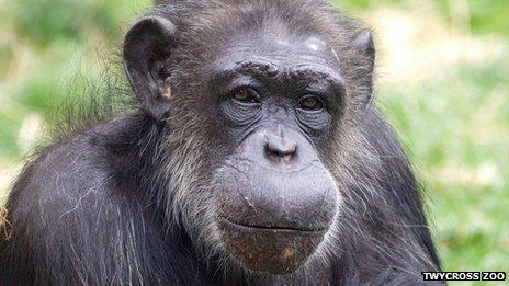 Choppers the chimpanzee