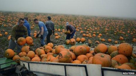 Agricultural workers harvesting pumpkins in Spalding