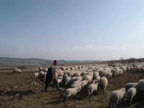 Shepherd driving sheep