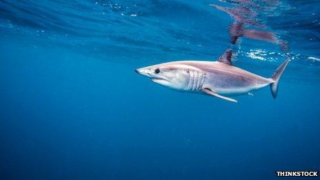 A mako shark swimming