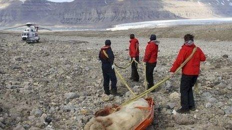 The dead bear being dragged away by rescuers