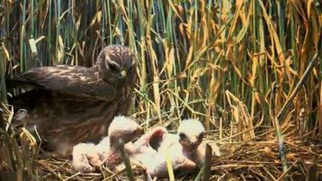 Montagu's harrier on nest