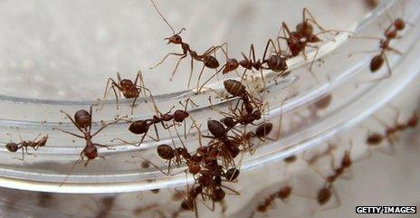 Ants in a dish