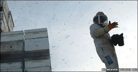 A beekeeper surrounded by bees, BeeWeaver Apiaries Inc