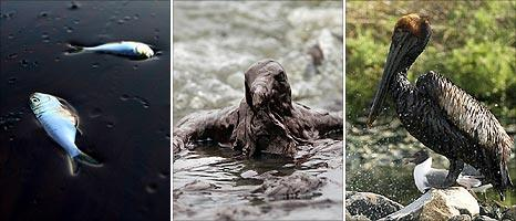 Fish and birds affected by oil