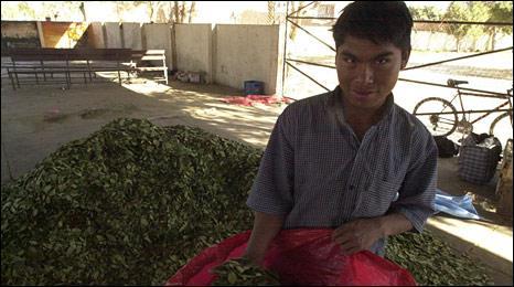 Coca farmer