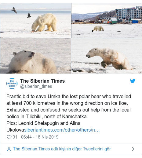 @siberian_times tarafından yapılan Twitter paylaşımı: Frantic bid to save Umka the lost polar bear who travelled at least 700 kilometres in the wrong direction on ice floe. Exhausted and confused he seeks out help from the local police in Tilichiki, north of KamchatkaPics  Leonid Shelapugin and Alina Ukolova