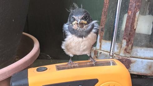 Swallow chick on radio