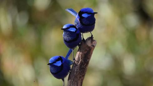Three fairy wrens sitting together