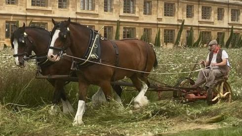 Shire horses at King's College
