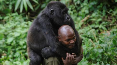 A warden at the Virunga National Park plays with an orphaned mountain gorilla, which is piggybacking on his back