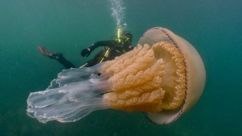 Jellyfish and scuba diver