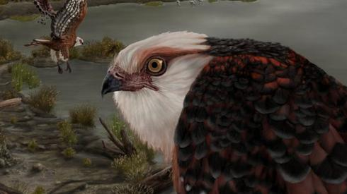 Archaehierax sylvestris, a newly described raptor fossil species which lived during the late Oligocene in Australia's interior. Artwork courtesy J Blokland, Flinders University.