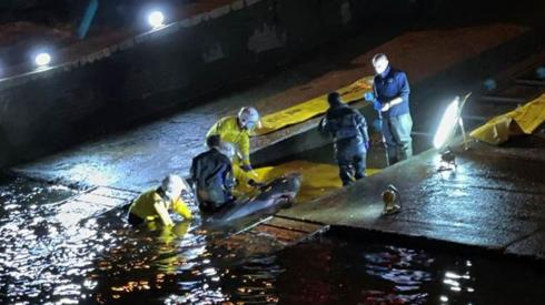 Whale stranded in the Thames