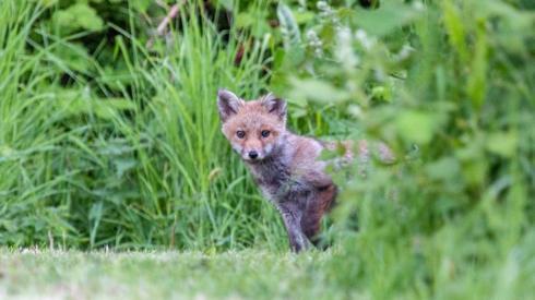A small fox in a garden