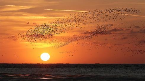 Knot flying at sunset at RSPB Snettisham