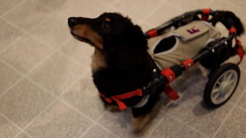Elderly dog with wheels