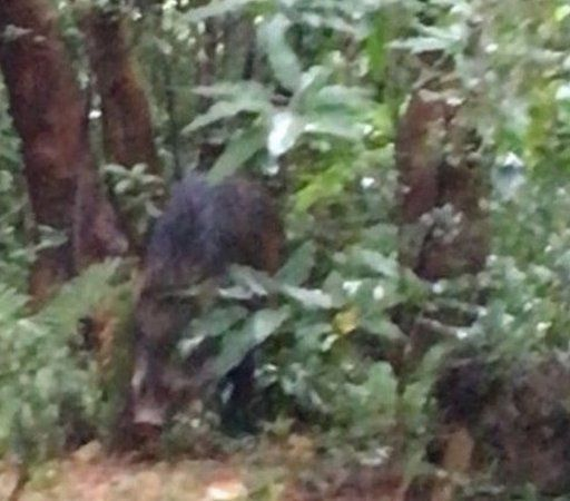Boar in undergrowth in Hong Kong park