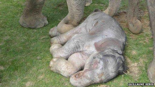 Newborn elephant