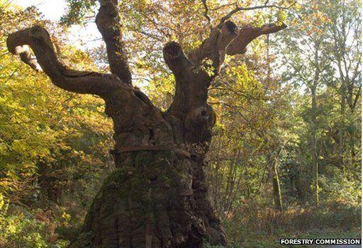 Big Bellied Oak, Wiltshire