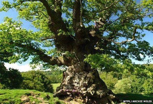 Whiteleaved Oak, Herefordshire