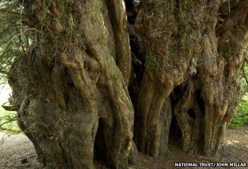 Ankerwycke Yew