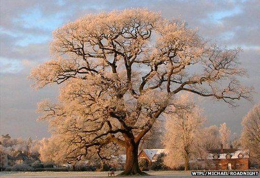 Ickwell Oak