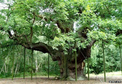 The Major Oak, Nottinghamshire