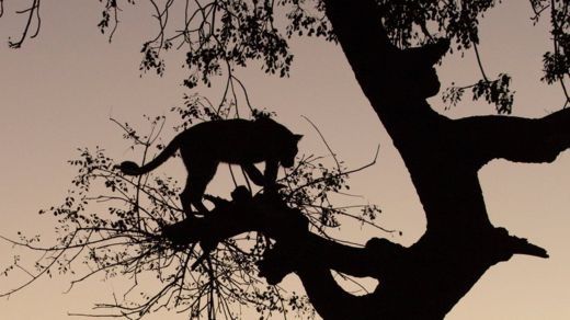 A silhouette of a leopard in a tree