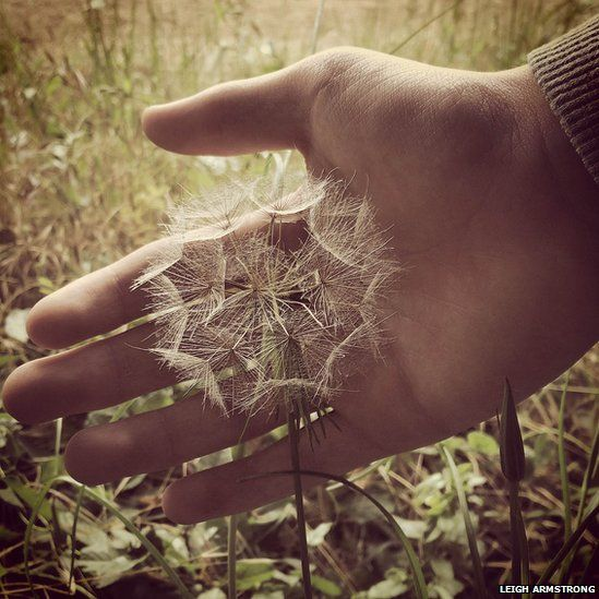Hand with dandelion