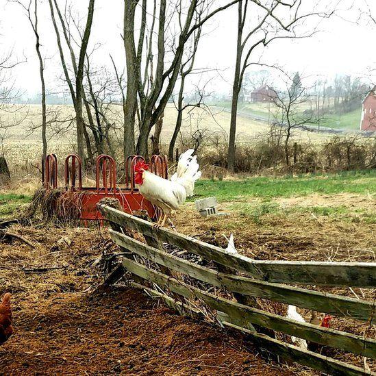 Chicken in a yard in Dillsburg, Pennsylvania