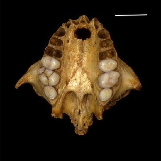 A Xenothrix skull