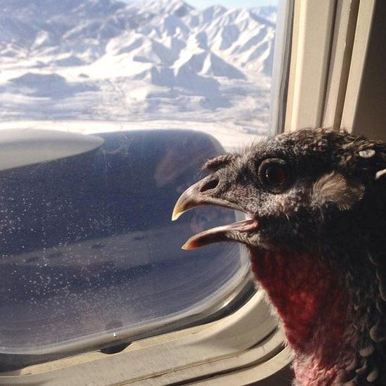 Easter the turkey looks out of a plane window