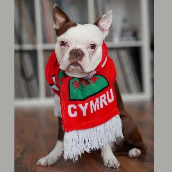 Dog wrapped in Wales scarf